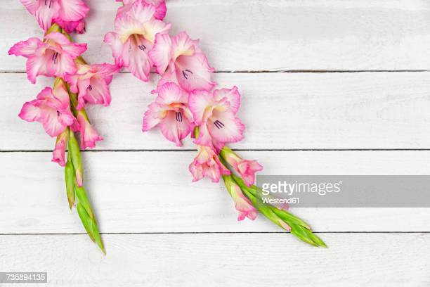 pink gladiolus - gladiolus stock pictures, royalty-free photos & images