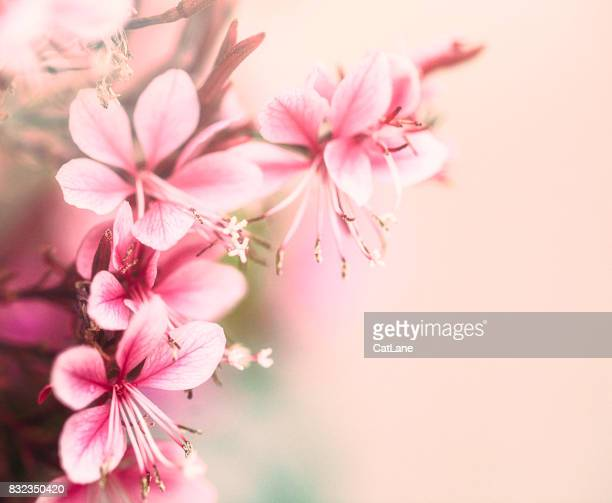 pink guara flowers in full bloom. flower immersion - soft focus stock pictures, royalty-free photos & images