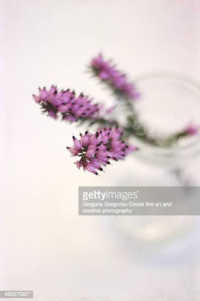 pink heather - gregoria gregoriou crowe fine art and creative photography stock photos and pictures
