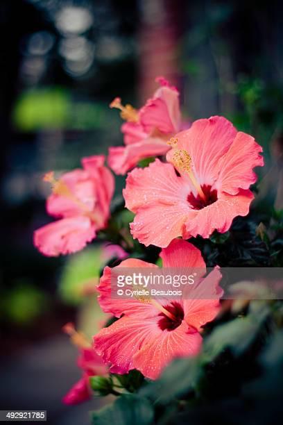 Pink hibicus