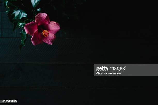 pink hibiscus flower on a dark background - christine wehrmeier stock pictures, royalty-free photos & images