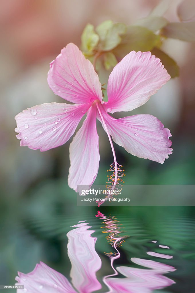 Pink Hibiscus flower : Stock Photo