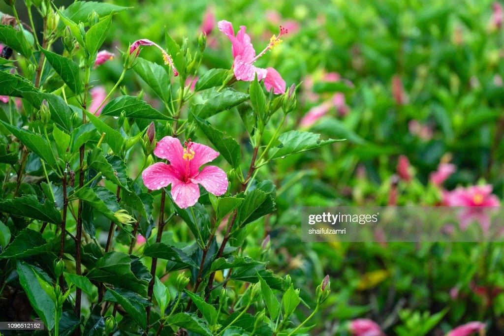 Pink hibiscus in tropical garden. : Stock Photo