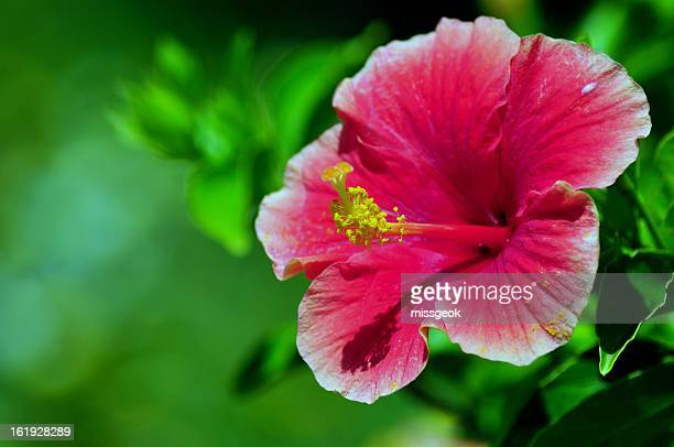 Pink Hibiscus on green bokeh background