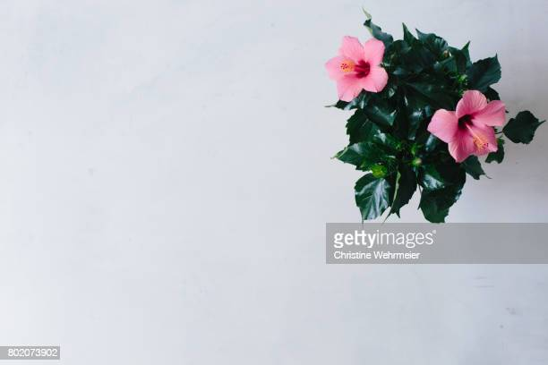 pink hibiscus plant on white table - christine wehrmeier stock pictures, royalty-free photos & images
