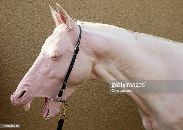 A pink horse ahead of its appearance in a cavalry event in honour of the Prince of Wales and Duchess's of Cornwall's visit on the eighth day of a...