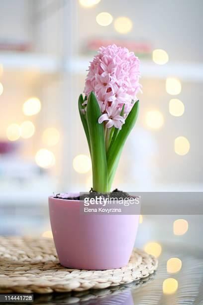 Pink hyacinth in bloom