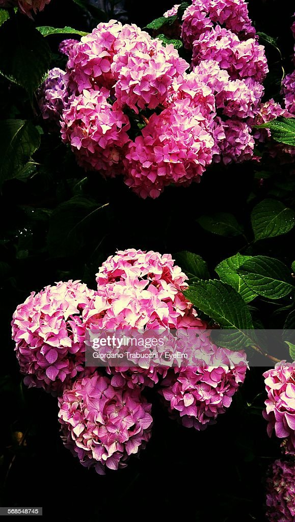 Pink Hydrangea Flowering Plant : Stock Photo