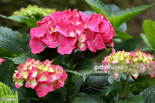 Pink Hydrangea in Italy