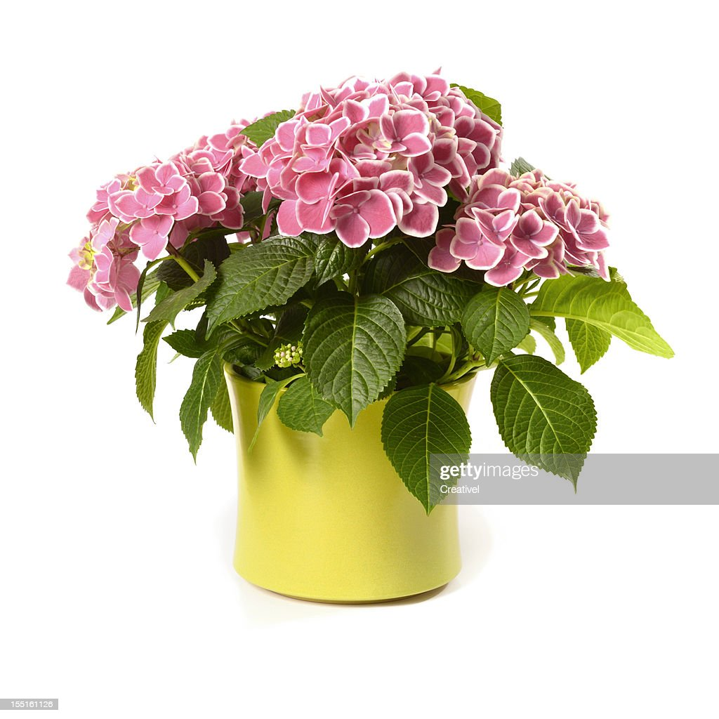 Pink Hydrangea in yellow pot isolated on white  sc 1 st  Getty Images & 60 Top Flower Pot Pictures Photos \u0026 Images - Getty Images