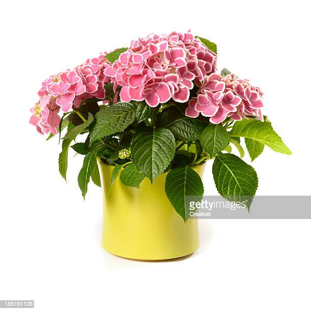 Pink Hydrangea in yellow pot isolated on white