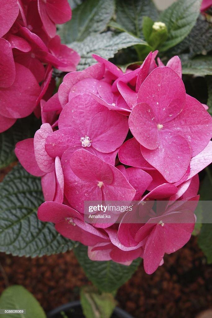 Rosa hortensia : Foto de stock
