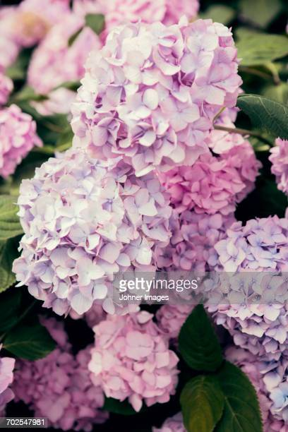 pink hydrangea - hydrangea stock pictures, royalty-free photos & images
