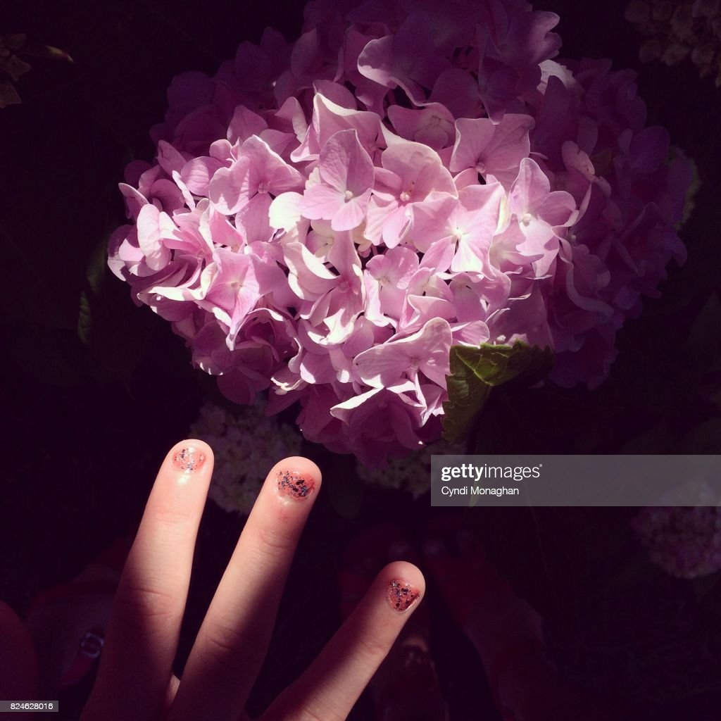 Pink Hydrangea : Stock Photo