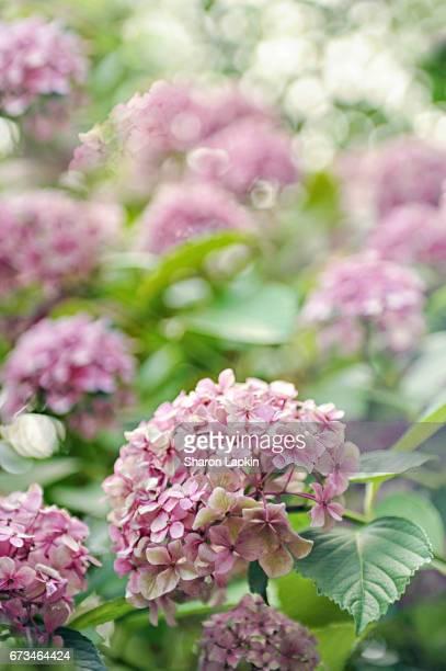 Pink hydrangeas in sunshine