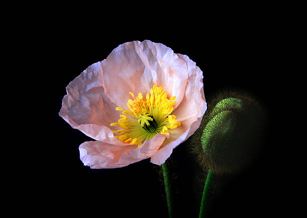 Pink iceland poppy flower and bud photos pink iceland poppy flower and bud wall art photo id 128311899 mightylinksfo