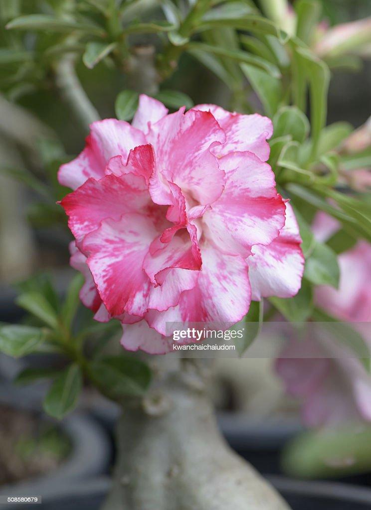 ピンクのインリリー花 : ストックフォト