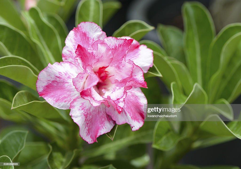 pink Impala Lily flower : Bildbanksbilder