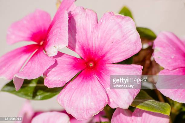 pink impatients - impatience flowers stock pictures, royalty-free photos & images