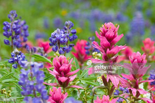 Pink Indian Paintbrush and Lupine Wildflowers