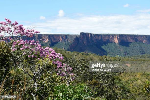pink ipê irames the wall of the chapada dos guimarães - cerrado stock pictures, royalty-free photos & images