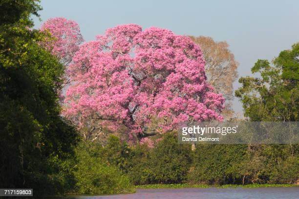 pink ipe tree (handroanthus impetiginosus) by pixiam river in pantanal, mato grosso, brazil - handroanthus stock-fotos und bilder