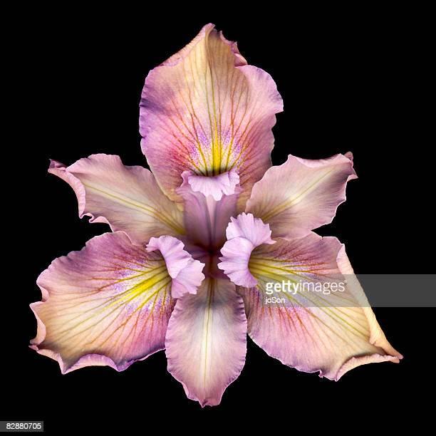 pink iris (iris sp.) flower, close-up - iris photos et images de collection