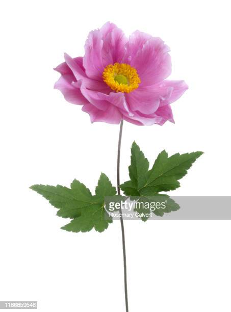 pink japanese anemone flower with two leaves on white. - flower stock pictures, royalty-free photos & images