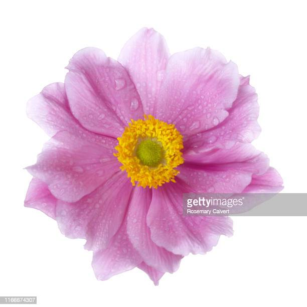 pink japanese anemone flower with water drops, on white. - flower head stock pictures, royalty-free photos & images