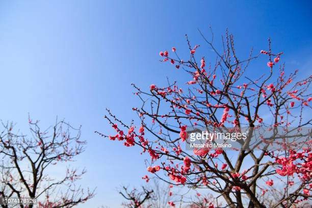 Pink Japanese Plum Blossoms