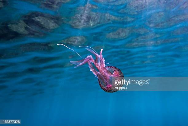 pink jellyfish in the mediterranean - phosphorescence stock pictures, royalty-free photos & images