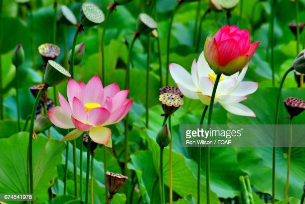 pink lake lotus - lily wilson stock pictures, royalty-free photos & images