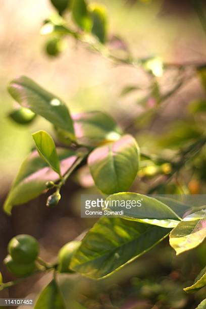 pink leaves - lemon leaf stock photos and pictures