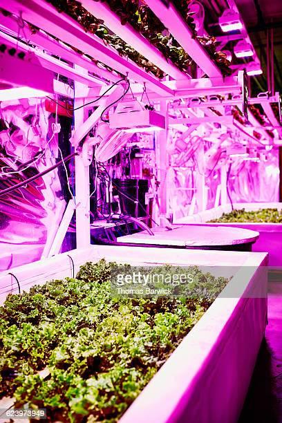 Pink LED urban greenhouse growing organic lettuce