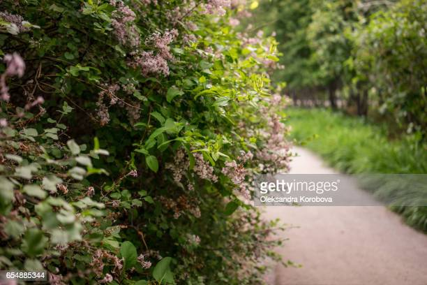 Pink lilac bushes with lush greenery