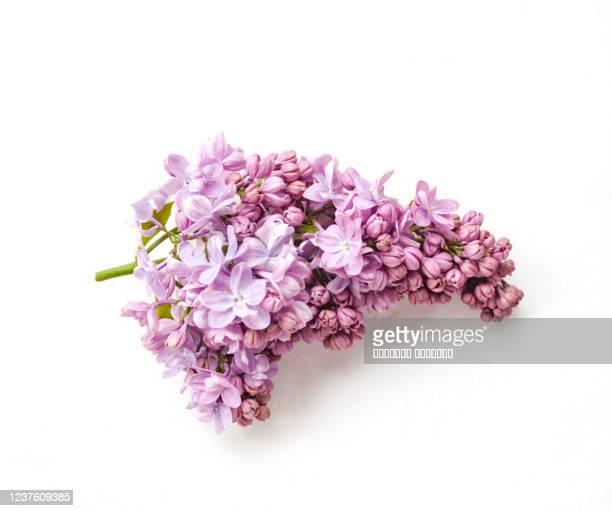 pink lilac flower twig isolated on white background. close up. selective focus. - ライラック ストックフォトと画像