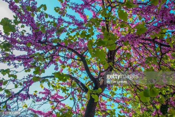 pink lilac tree flowers - purple lilac stock pictures, royalty-free photos & images