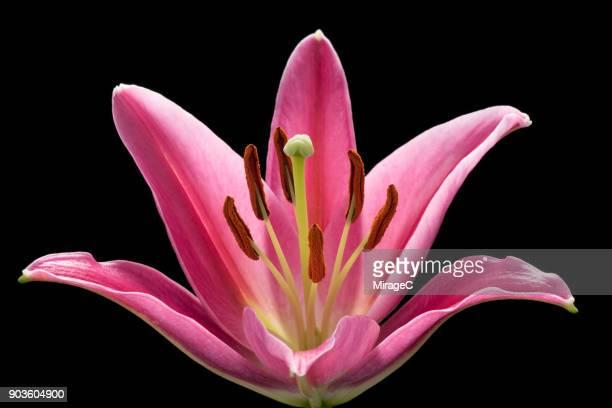 pink lily flower macro shot - giglio foto e immagini stock