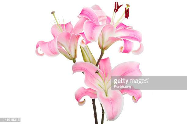pink lily - easter lily stock pictures, royalty-free photos & images