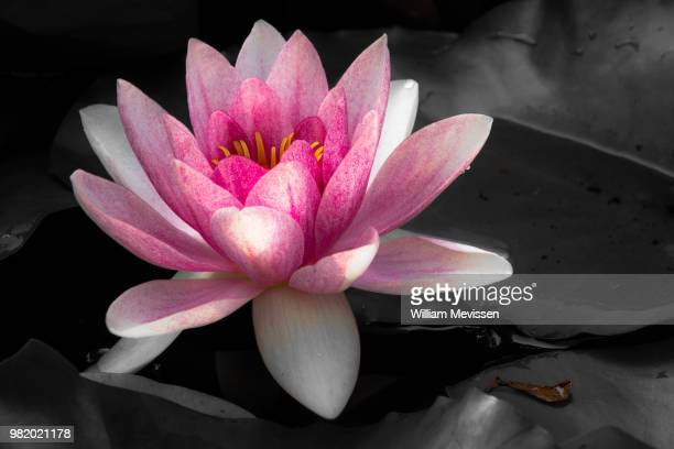 pink lily - william mevissen foto e immagini stock