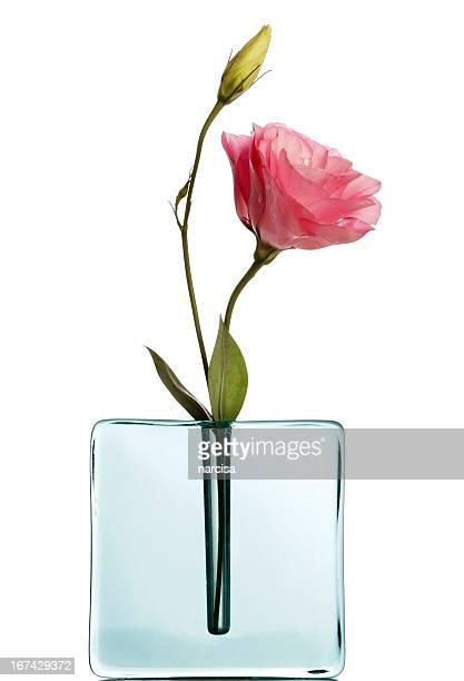 Pink lisiantus in blauer vase auf Weiß