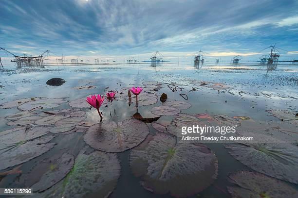 Pink Lotus at Pakpra, Phatthalung, Thailand