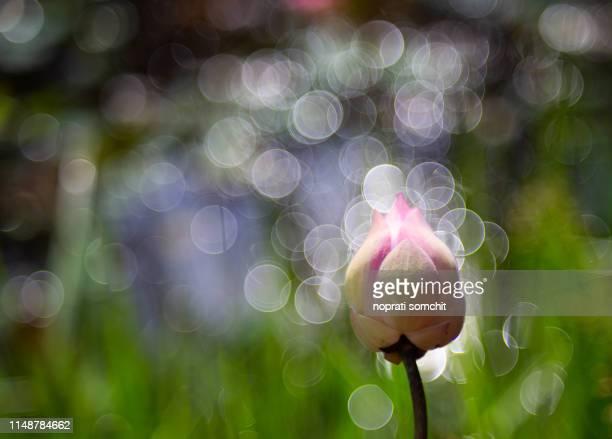 pink lotus bud - 暦月 ストックフォトと画像