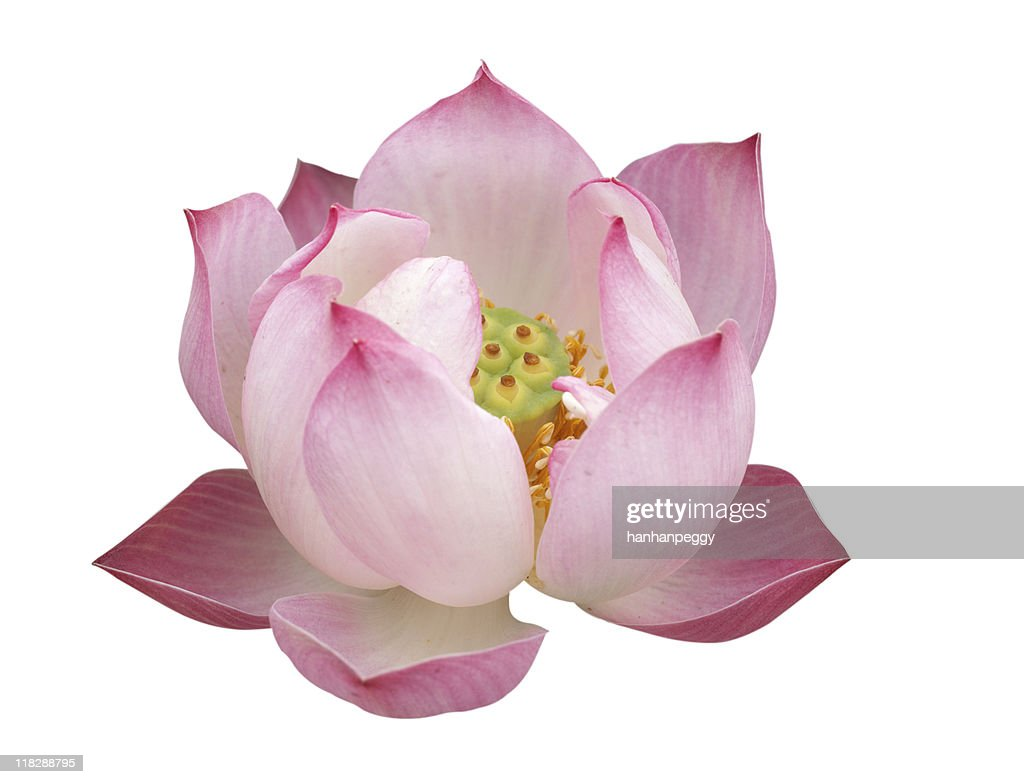 A Pink Lotus Flower Against A White Background Stock Photo Getty