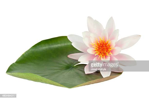 pink lotus flower - water lily stock photos and pictures
