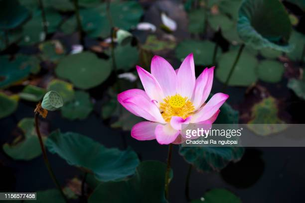 pink lotus flowers bloom in the lotus pond in the morning and there are bees in the lotus flower. - aquatisches lebewesen stock-fotos und bilder