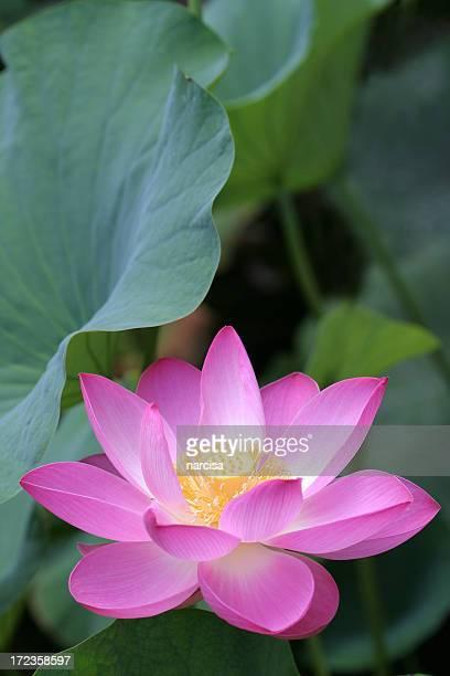 pink lotus under green leaves