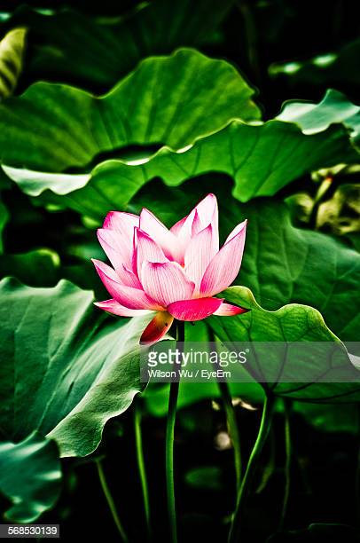pink lotus water lily blooming outdoors - lily wilson stock pictures, royalty-free photos & images