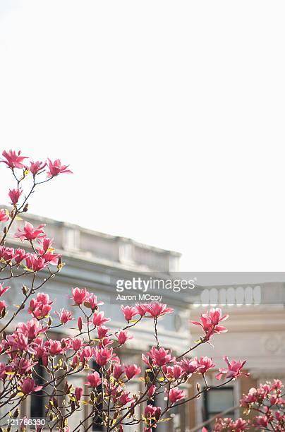 Pink magnolia (Magnolia campbellii) backlit by afternoon sun