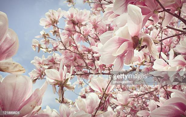 pink magnolia blossom - magnolia stock photos and pictures